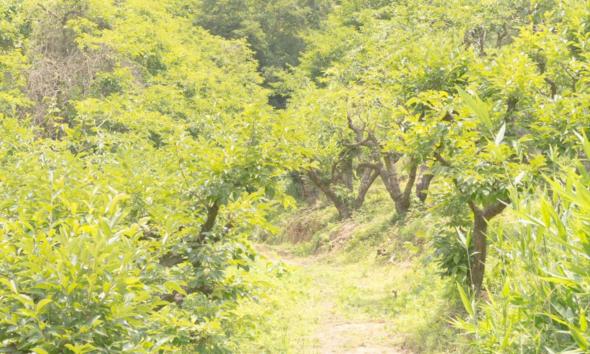 飲む柿の葉・食べる柿の葉 KAKIHA